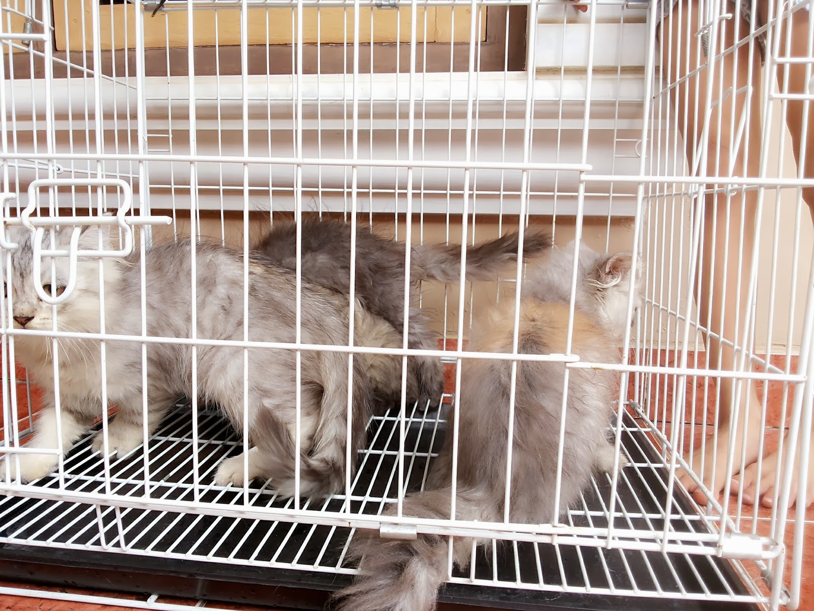 Jual Kucing Persia Jual Peralatan Perlengkapan Dan