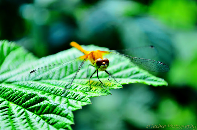 Dragonfly in the Raspberries!