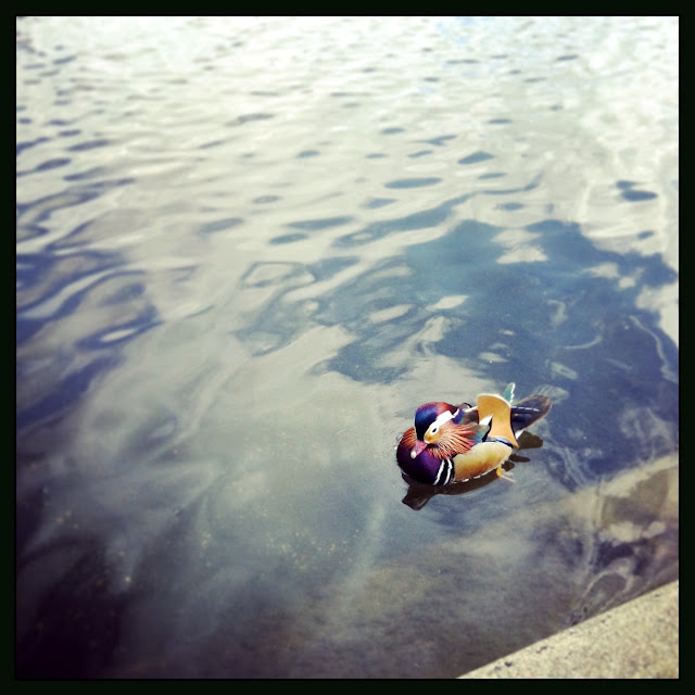 Mandarin Duck in Hyde Park London