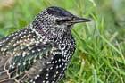 52. Starlings