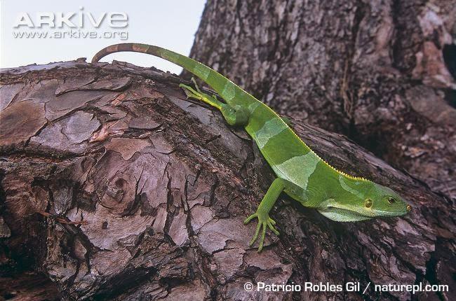 Fiji banded Iguana