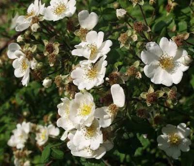 Rosa Arvensis Flowers