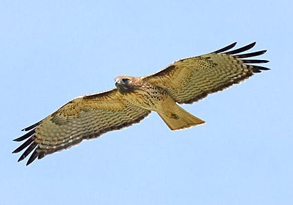 red_tailed_hawk_16.jpg