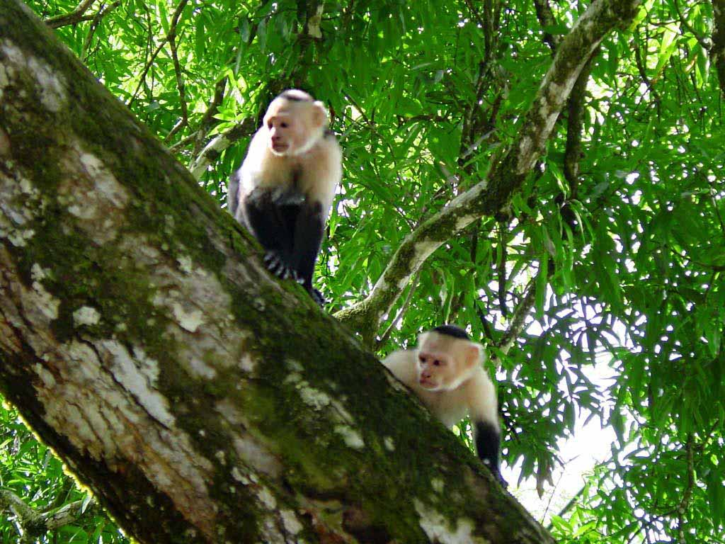 Hq Wallpapers Capuchin Monkey Wallpapers