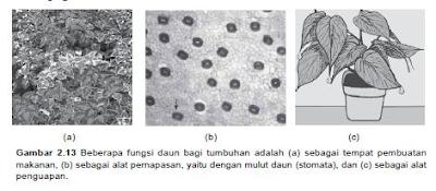 fungsi daun dan pori-pori daun