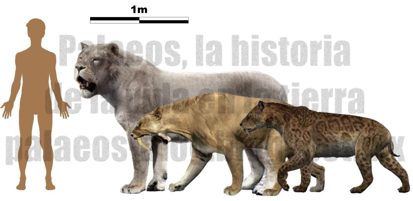 Saber tooth tiger size comparison to liger