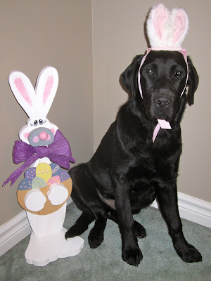 Black lab puppy Romero is in the easter spirit, posing with a pair of small white a pink bunny ears tied around his head with a pink ribbon. He is sitting and looking very innocently into the camera, he doesn't seem too bothered by his new set of ears. To the left of Romero is a wooden easter bunny decoration, slightly shorter than him and adorned with a wooden basket of easter eggs and a big purple ribbon tied around its neck. Both bunnies are sitting on a mint green carpet against a tan wall at the top of our stairs.