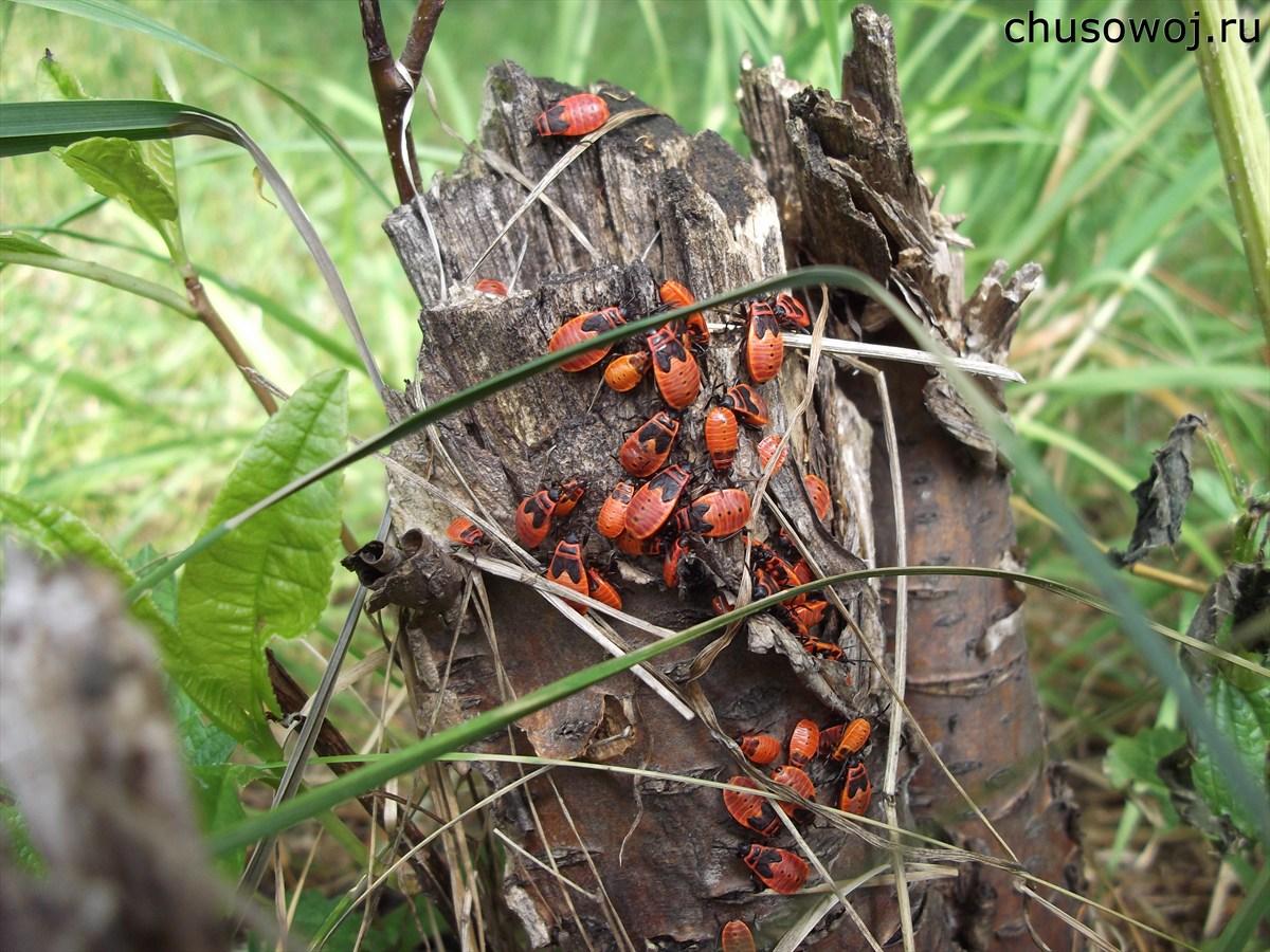 россии жуки фото