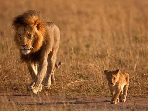 Bài học từ cách mà sư tử dạy con