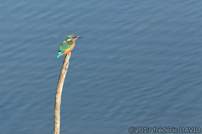 oiseau martin pêcheur pêche étang nature Sorques Fontainebleau Seine et Marne