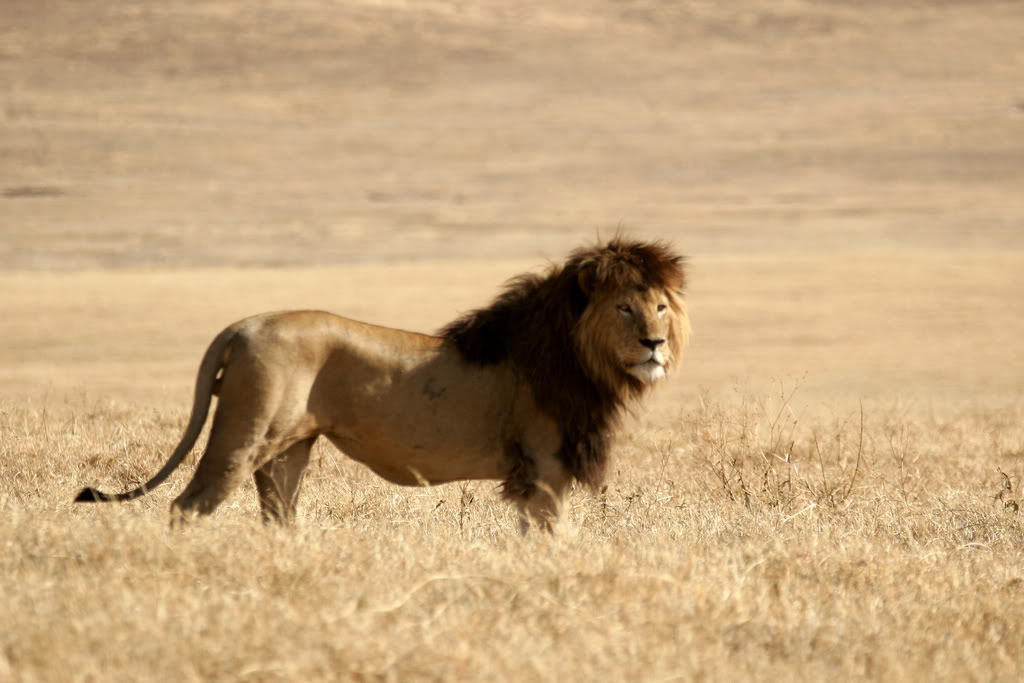 Biggest+Lion+In+The+Wo...