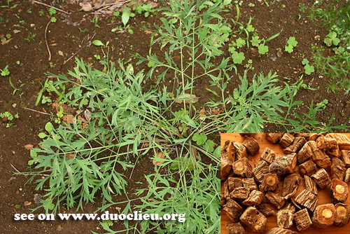 Botanical Name: Ledebouriella divaricata (Turcz.) Hiroe