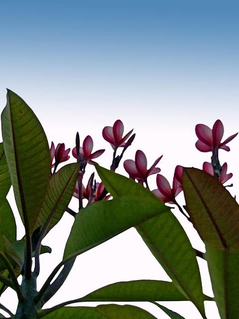 violent plumeria against a vignette background
