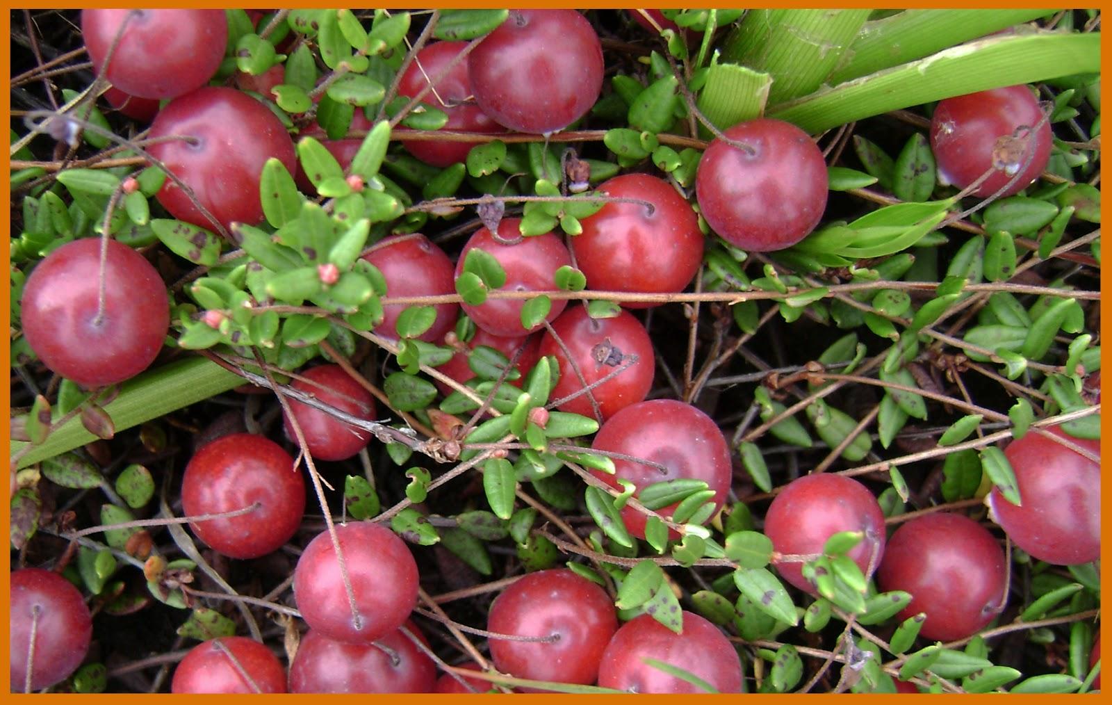 Клюква: сорта, выращивание и уход 9