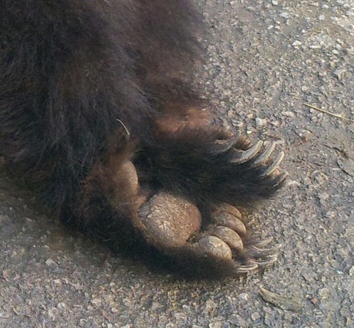 P giacomo a reps mirdita un orso bruno ci ha rimesso la for Cabina di montagna grande orso