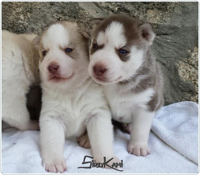 cachorras hembras del Sirokami