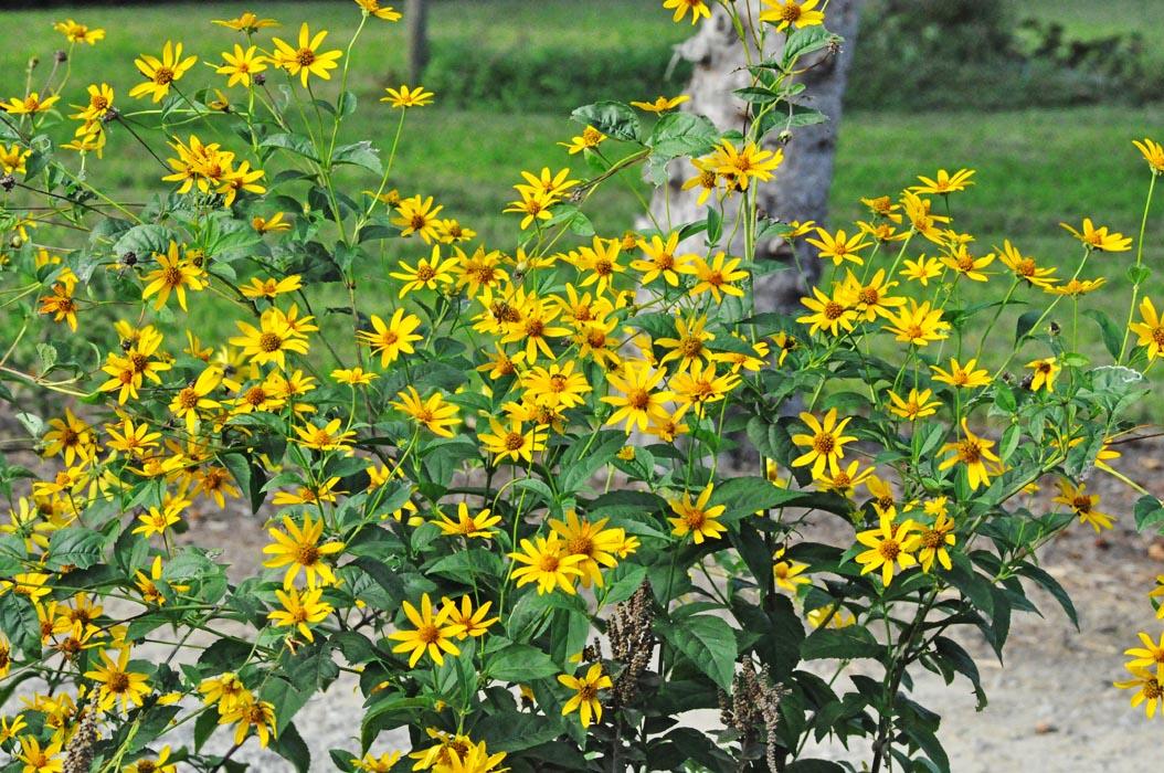 Fall Flowers In Bloom This Week Fiddlehead Creek Native