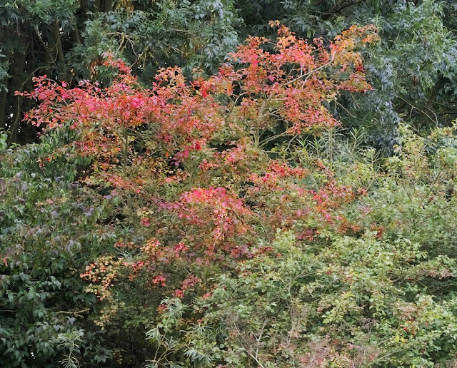 Hawthorn bush with red foliage amongst other green bushes