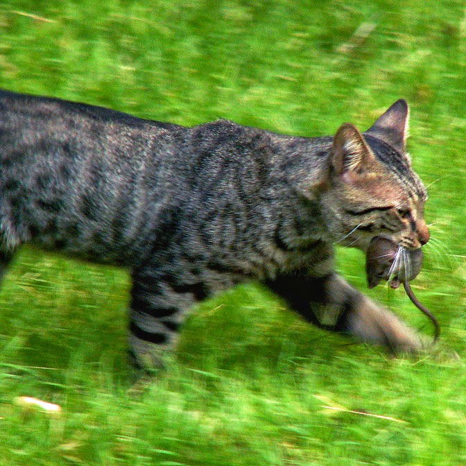 what is a feral cat behavior