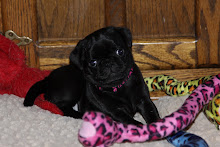 MEET BELLA- THE PUG