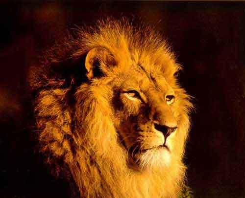 Animales salvajes leones - Leones apareamiento ...