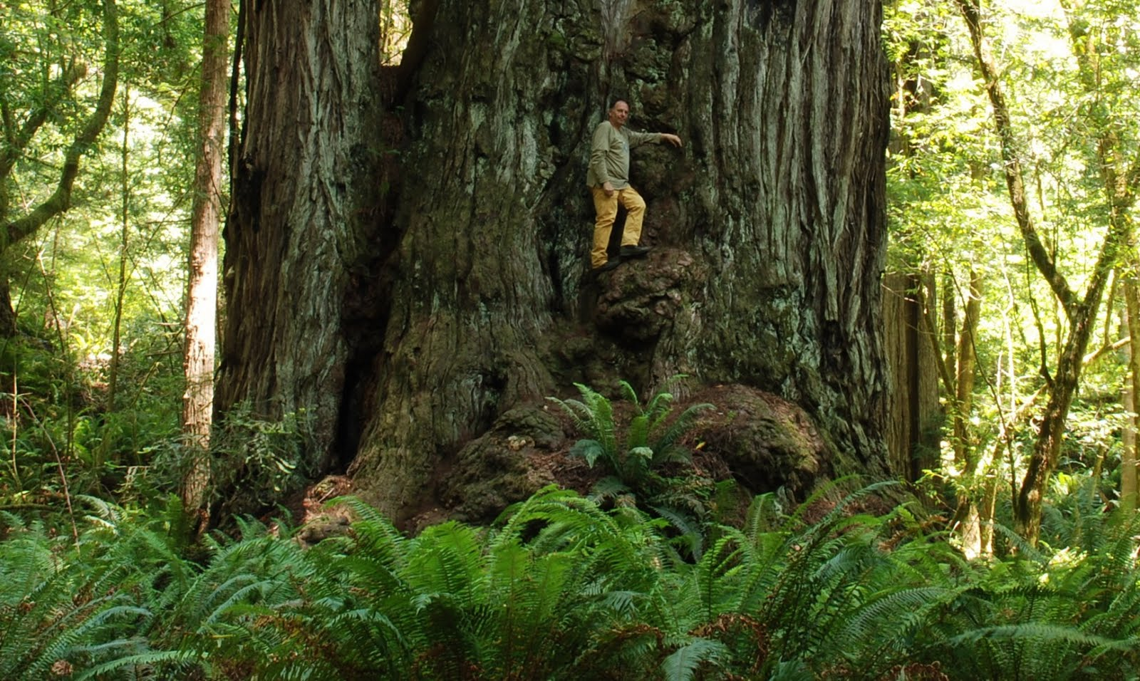Alberi e dintorni storie di alberi gli alberi pi vecchi for Pianta della foresta di pioppo