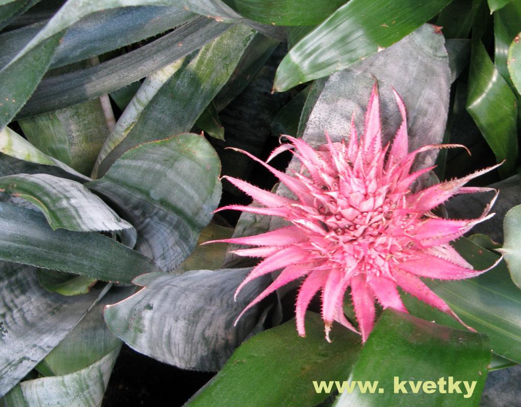 Лаконос цветок уход