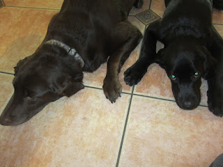 Willow and Coach lying down next to each other.  Willow is on the left and Coach is on the right.
