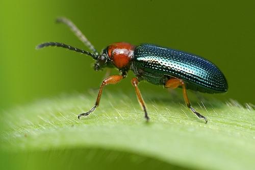 Sciences de la vie et de la terre huahine un exemple de lutte biologique - Insecte rouge et noir ...