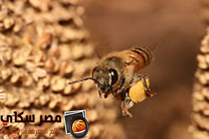 معلومات غريبة جدا عن النحل