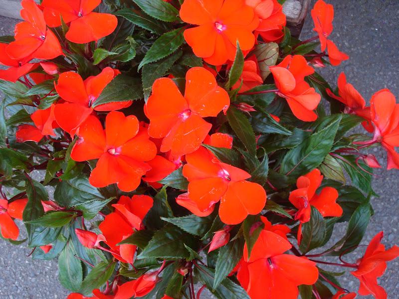 Fleuriste isabelle feuvrier les impatiences de guin e - Impatiens de guinee l hiver ...