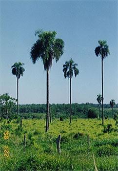 palmeras de argentina Pindo Syagrus romanzoffiana