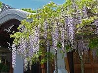 春日神社の社務所前の六尺藤。