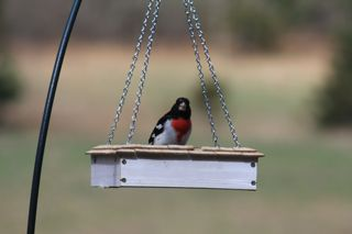 photo of male rose-breasted grosbeak