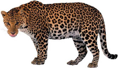 Foto del leopardo