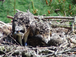 Three ringed chicks back in the nest after ringing.