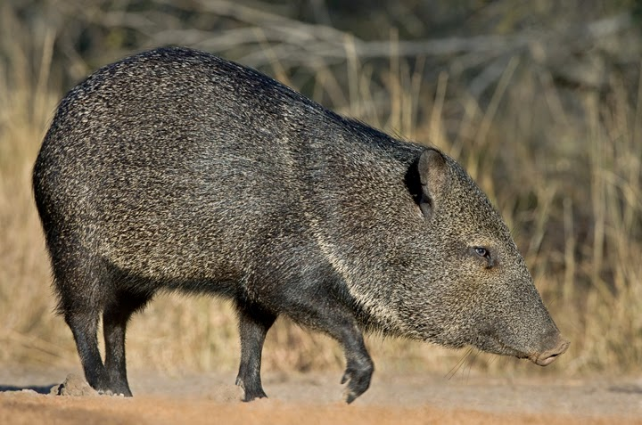 Understanding The Differences Between Javelinas And Feral Hogs