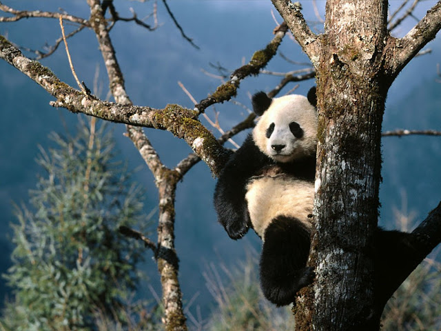 Panda Wallpapers Backgrounds Desktop 1024x768