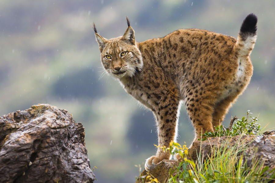 4. Photograph Eurasian Lynx by Mario Moreno