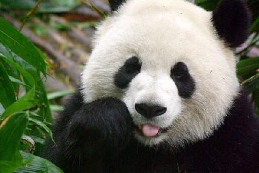 Knowledge of animals panda bear