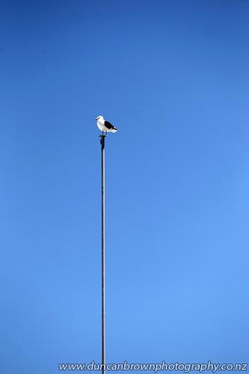 Flying the flag, gull on a flagpole in Emerson St, Napier photograph