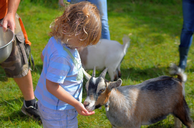 Child hand feeding a goat kid