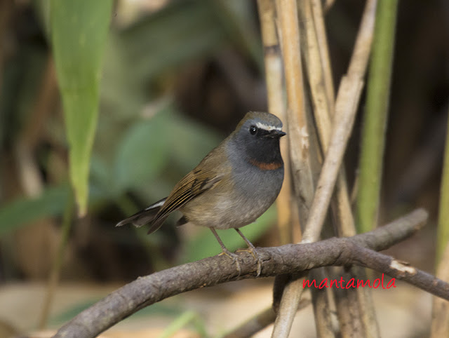 Rufous Gorgeted Flycatcher (Ficedula strophiata)