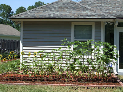 Sunflower Plants Prospering in the Ground May 15, 2013