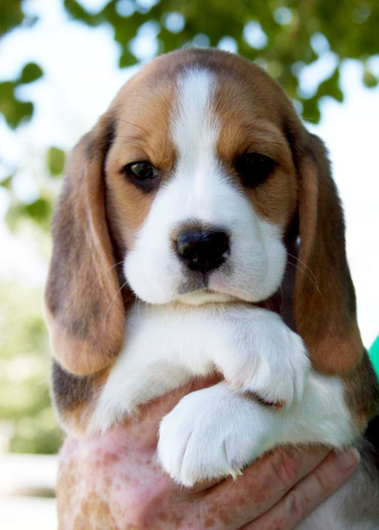 See more Adorable cute beagle puppies in hands