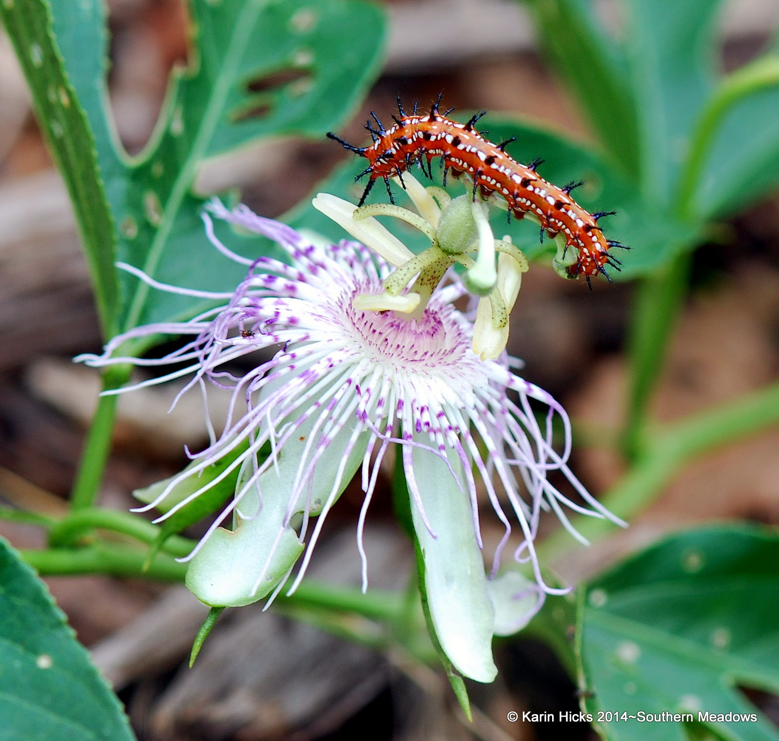 variegated fritillary caterpillar on passiflora bloom