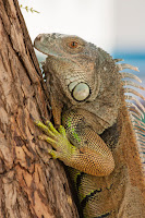 Fotos macro de una Iguana