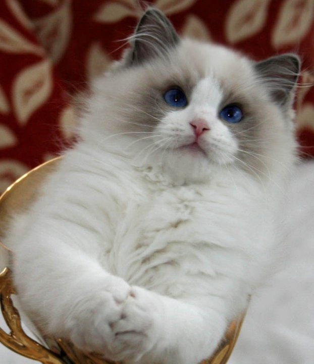 Temperament and Personality of Ragdoll - Annie Many