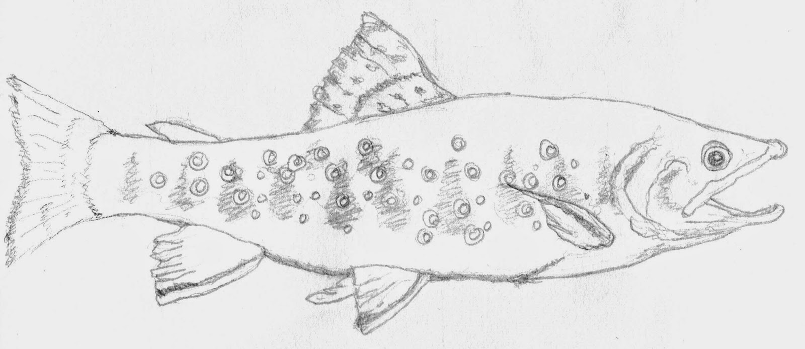 85   brook trout coloring page   michigan state fish brook trout  trout coloring page White-Tailed Deer Coloring Pages  Brook Trout Coloring Page