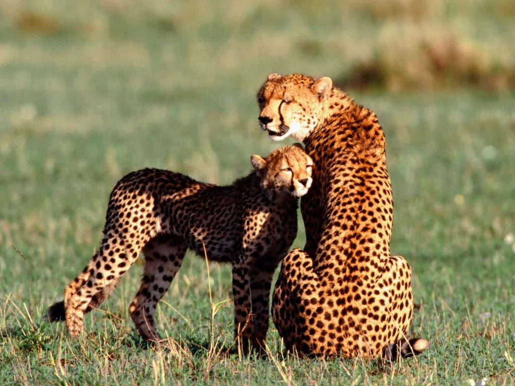 Beautiful Animals Safaris: The Fastest Cheetah in the World and the ...